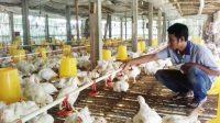 Peternak Ayam Potong Keluhkan Mafia Industri Unggas
